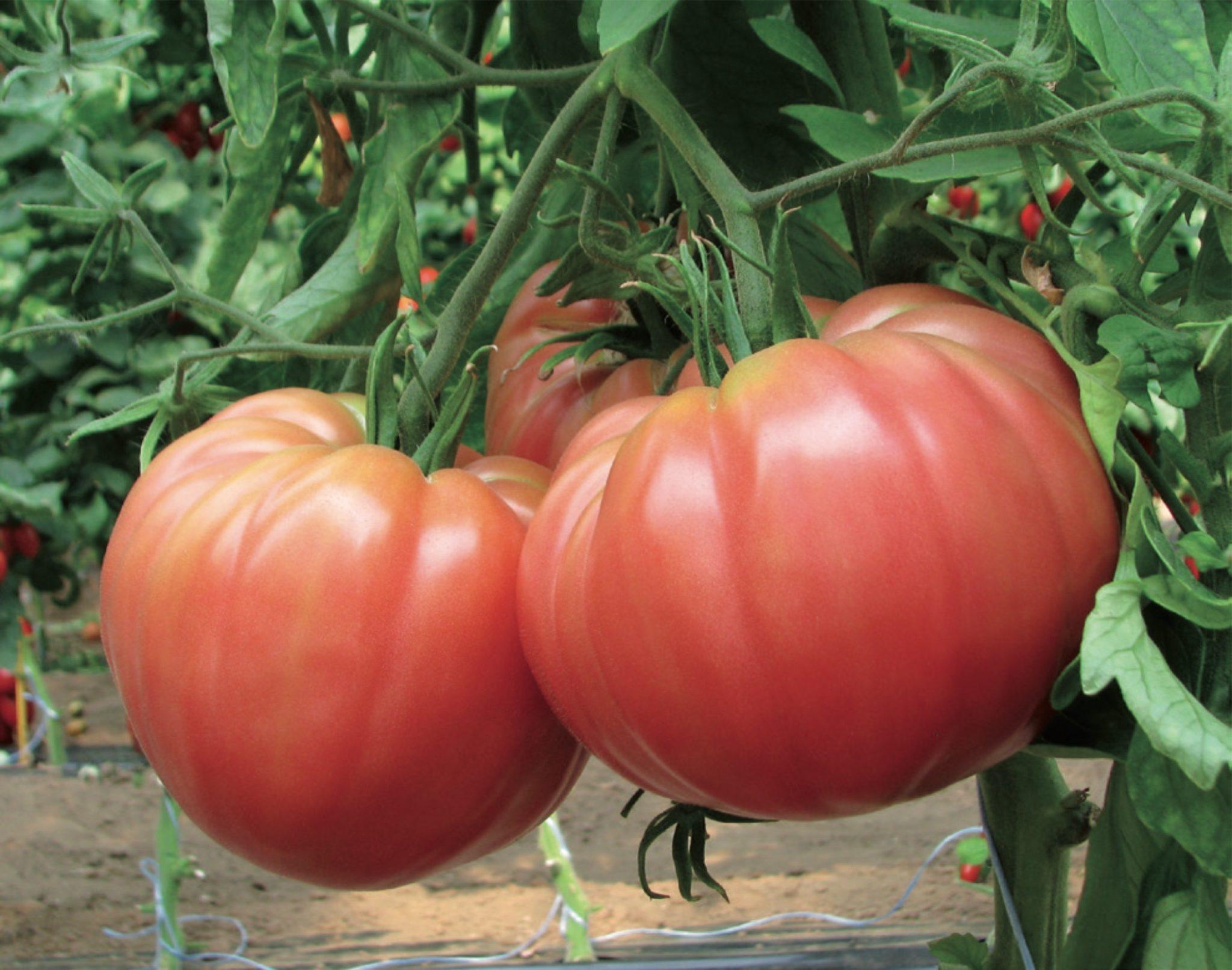 помидоры сорта для открытого грунта фото фотография сделана