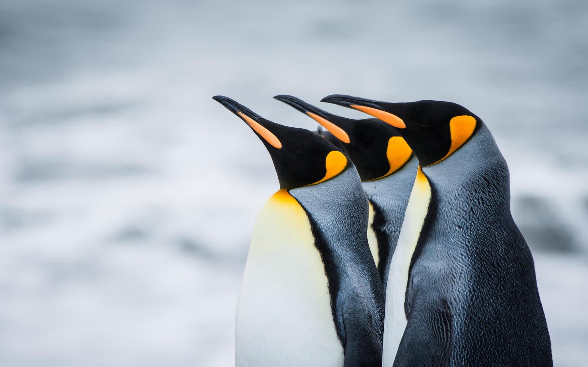 К чему снятся пингвины женщине, девушке - сонник. Много пингвинов во сне