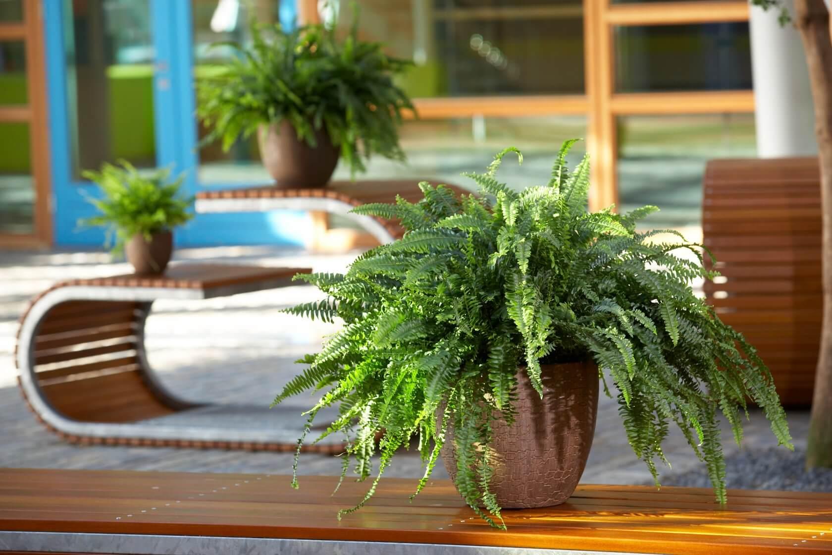 Домашний папоротник: приметы и суеверия - можно ли держать растение в доме