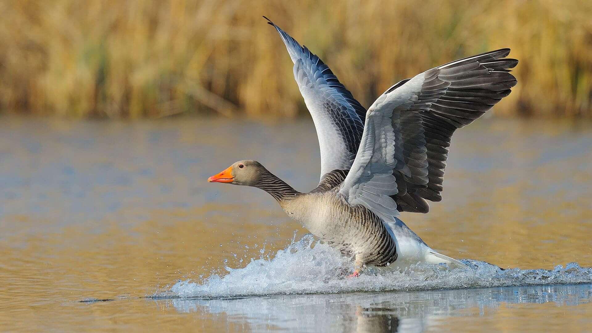 К чему снятся гуси для женщин - сонник белые, живые, нападающие гуси