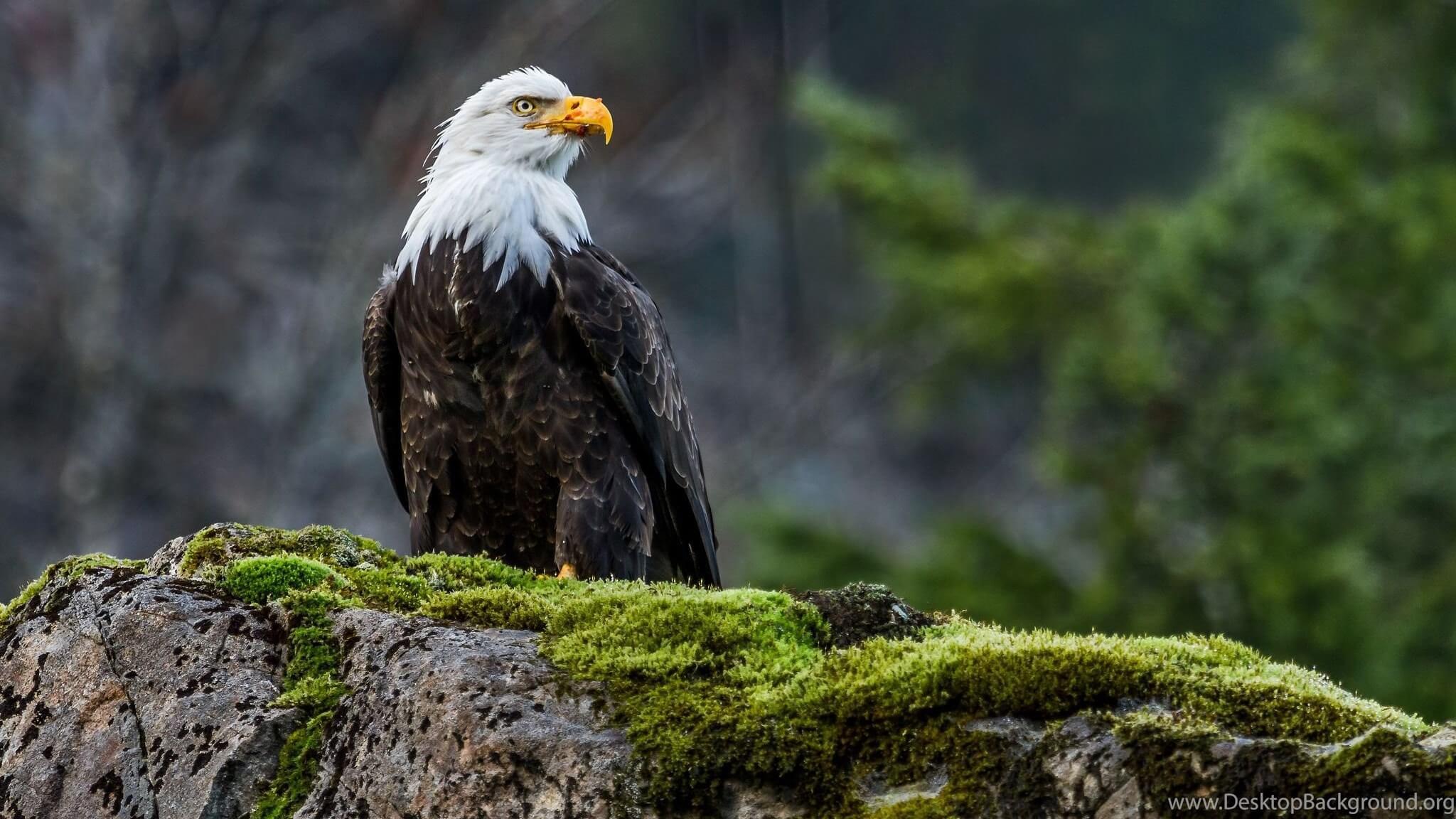 К чему снится орел - сонник и толкование. Приснился орел в небе или в руках