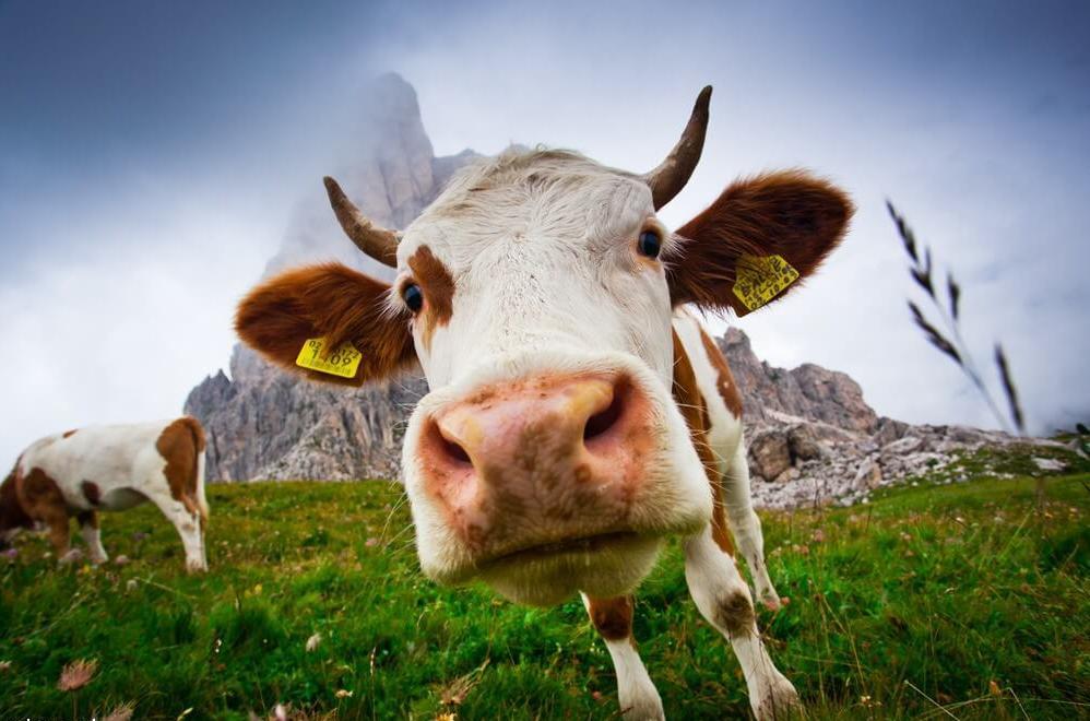 Прикольные коровы картинки, картинки