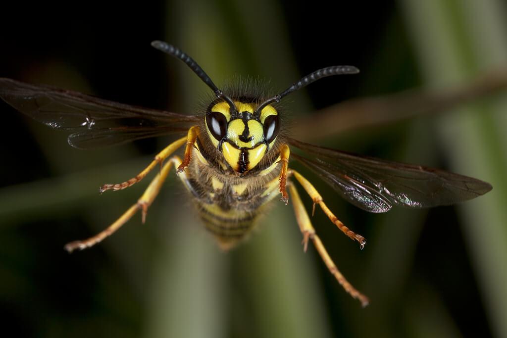 К чему снятся осы женщине - сонник много ос, укусы ос, осы в доме