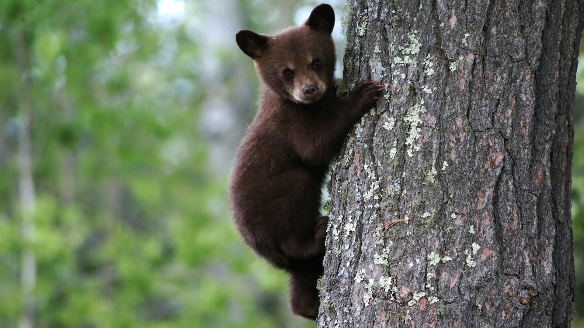 К чему снится медвежонок женщине и мужчине - сонник медведица с медвежатами