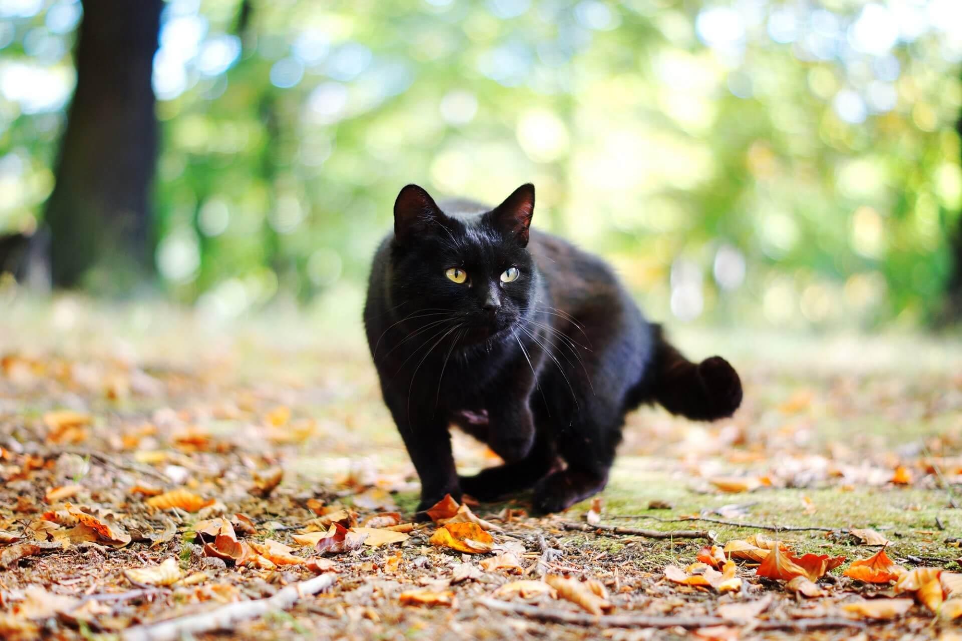 картинка чорного кота любую технику для