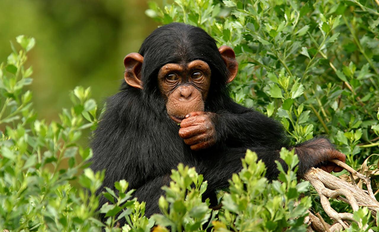 К чему снится обезьяна женщине и мужчине - сонник