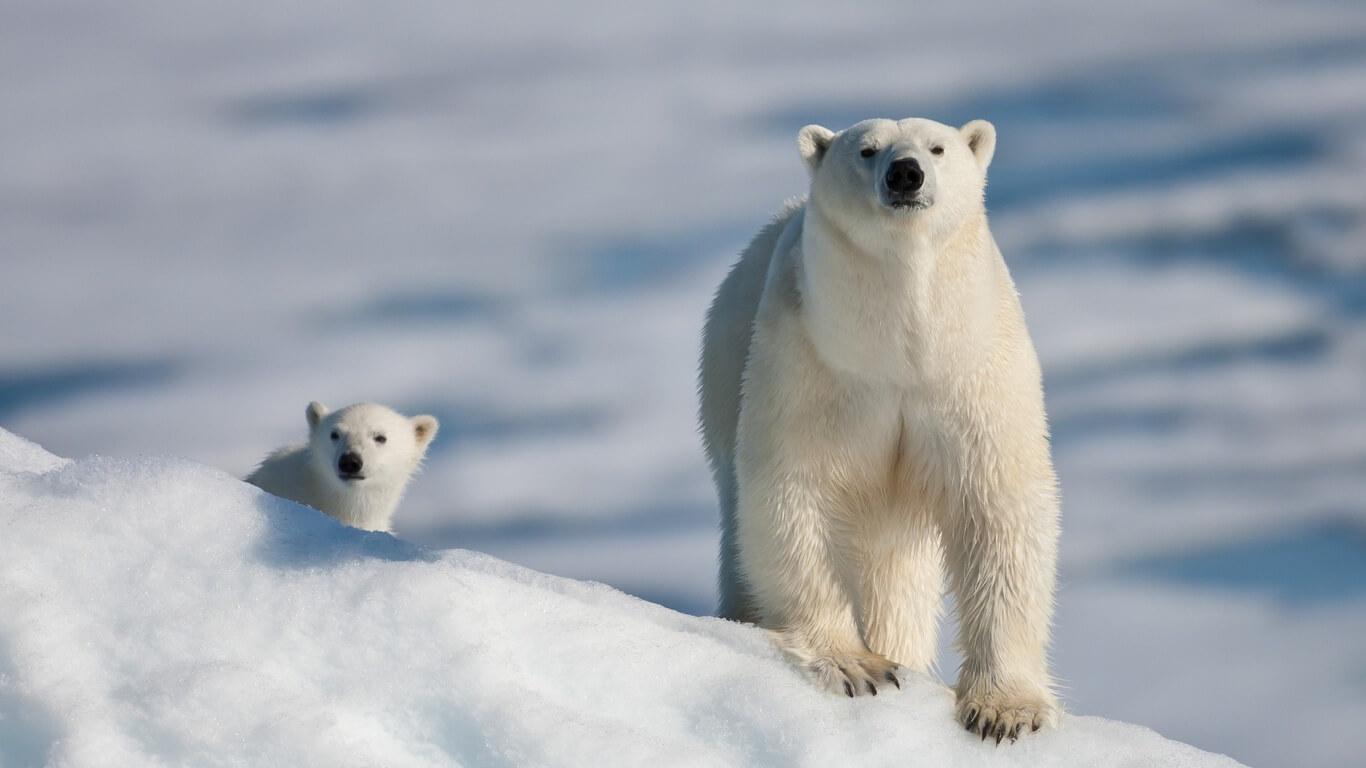 К чему снится белый медведь женщине, незамужней девушке - сонник