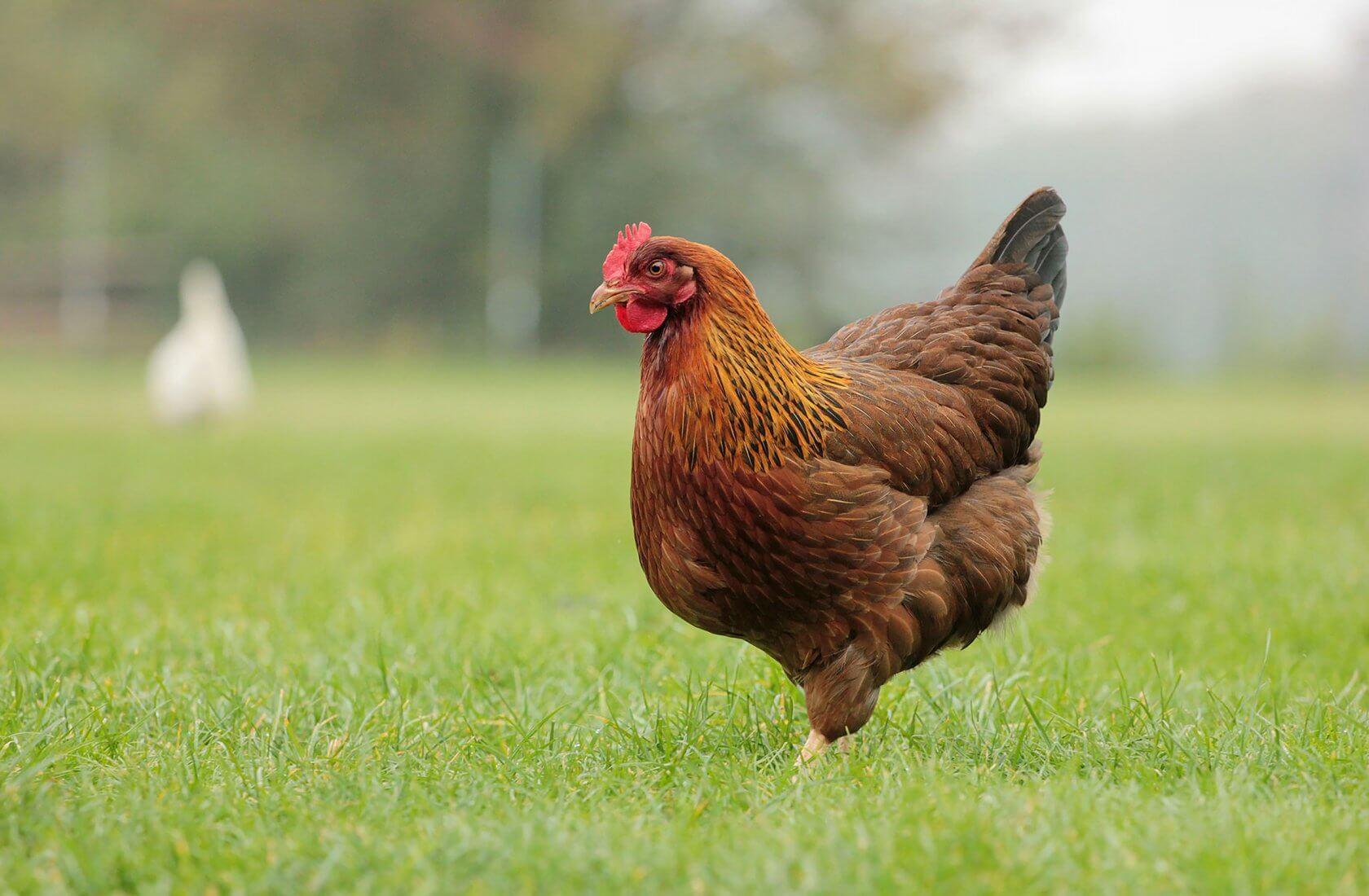 К чему снятся курицы женщине - куры во сне по соннику