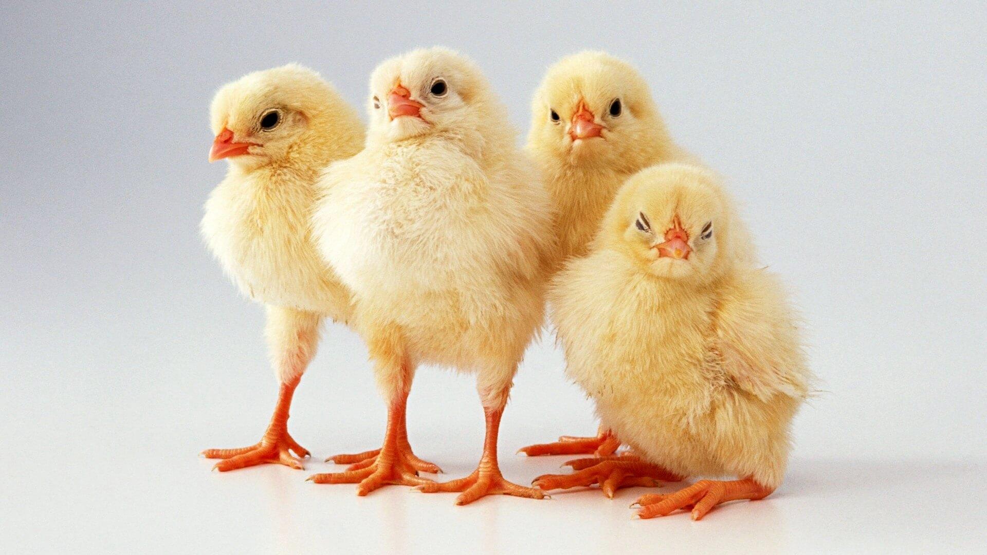 К чему снятся цыплята женщине - сонник маленький, желтый цыпленок
