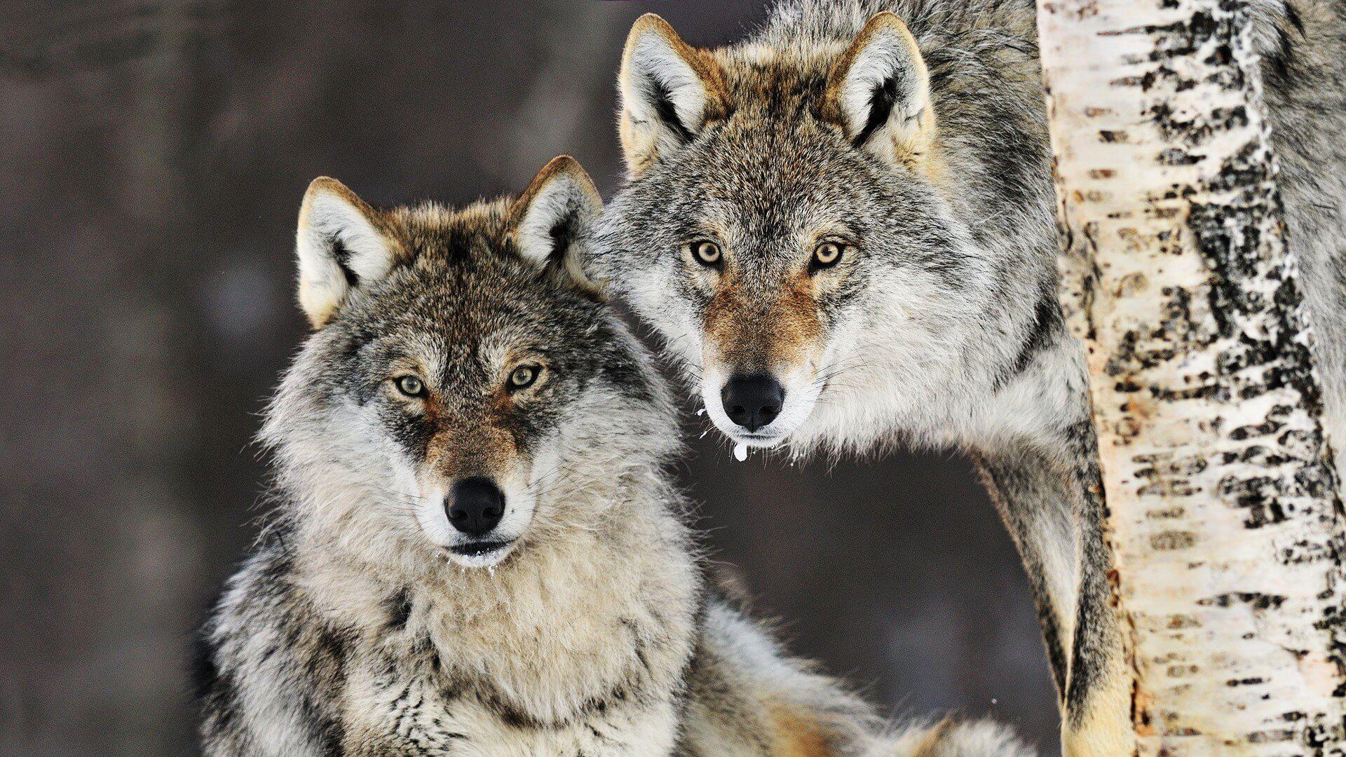 К чему снятся волки женщине и мужчине: сонник белый, черный, нападающий волк