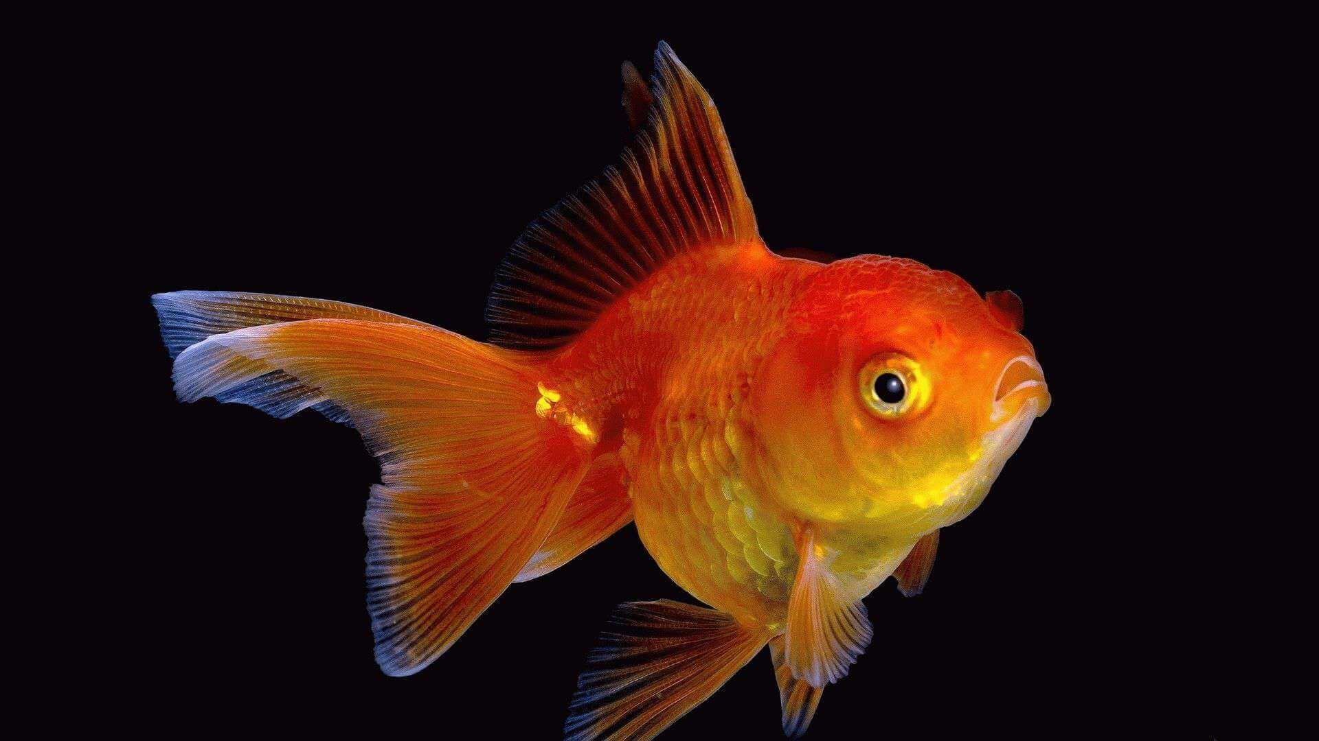 Золотая рыбка на картинках фото