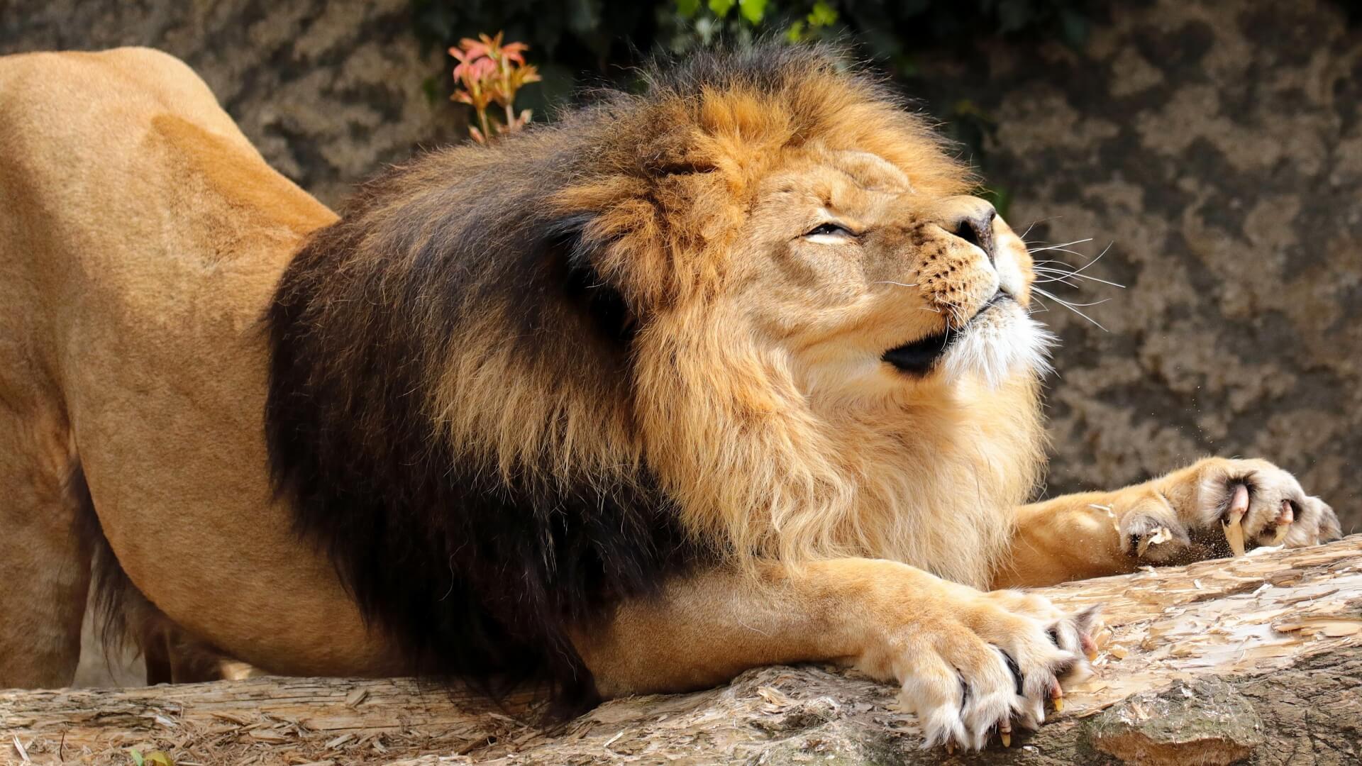 львы доброе утро фото речь