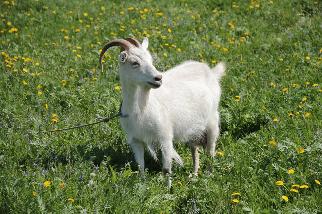дополнение коза фото картинки украшен