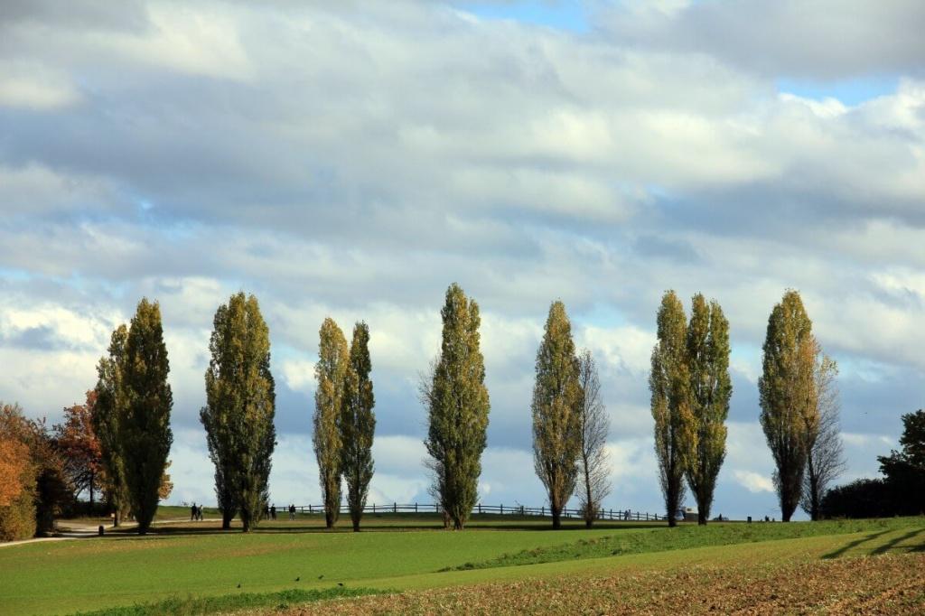 Какие деревья нельзя сажать на участке приметы - тополь.jpg
