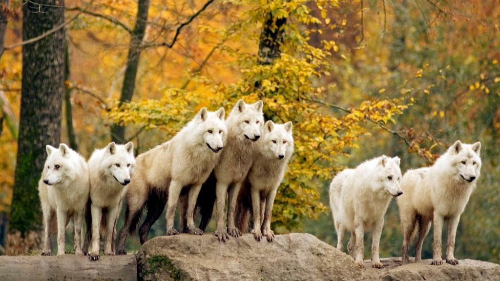 К чему снятся волки женщине.jpg