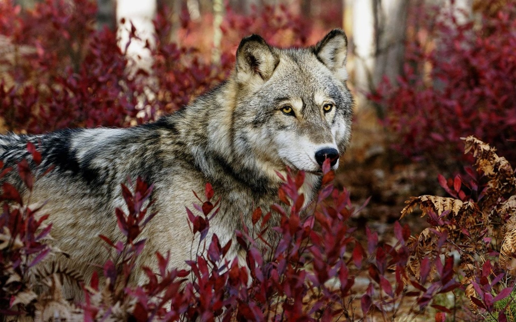 Волк сонник.jpg