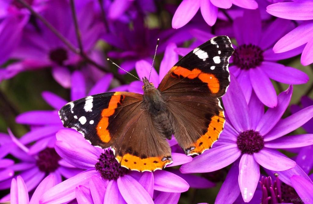 Бабочка сонник.jpg