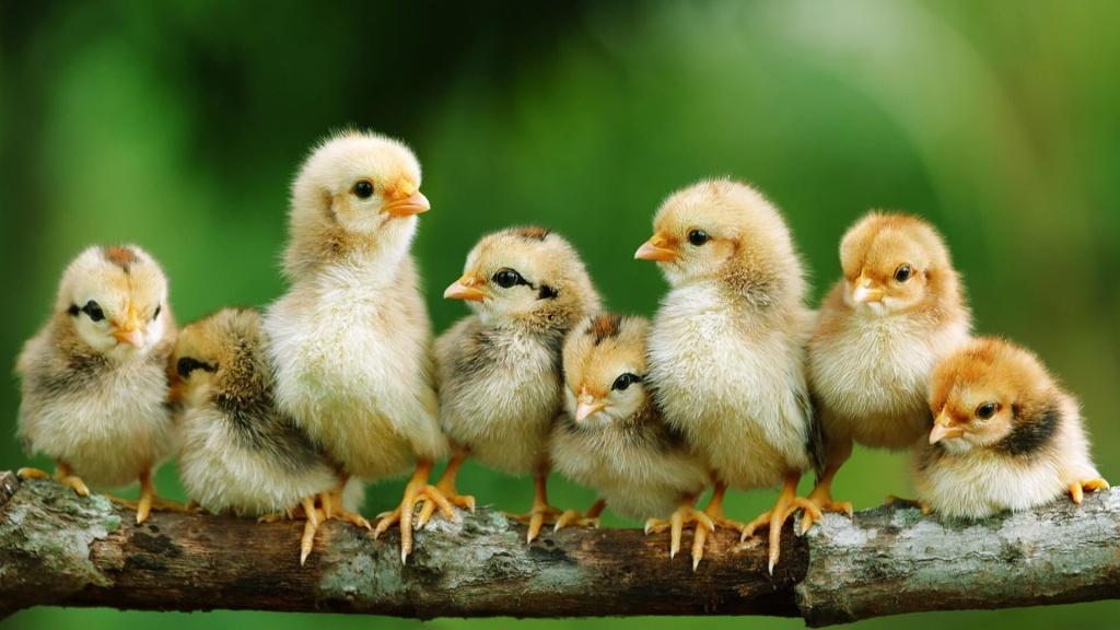 Цыпленок картинки красивые, прикольны про кавказ